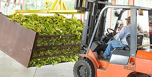 forklift driver lifting green tobacco leaves