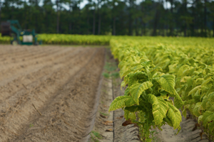 tobacco plants in a field