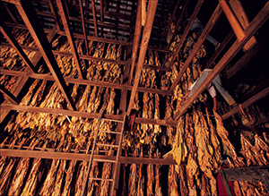 tobacco leaves hanging up during the curing process