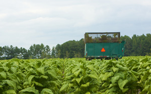 heavy harvesting equipment in a tobacco field