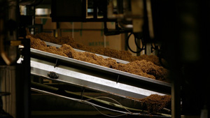 dried tobacco on a conveyor belt